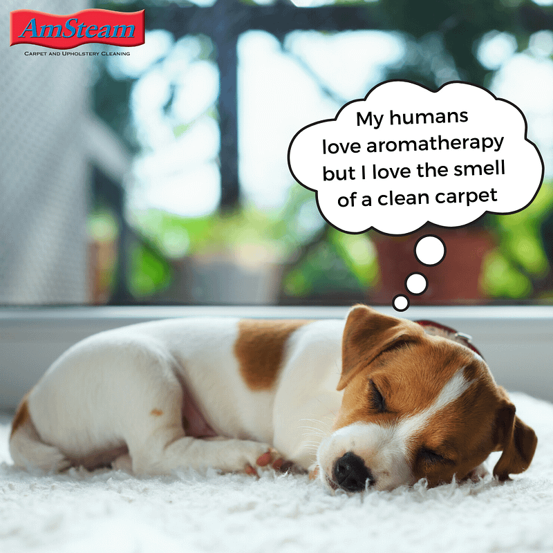 "Puppy sleeping on carpet, saying ""My humans love aromatherapy but I love the smell of a clean carpet!"""